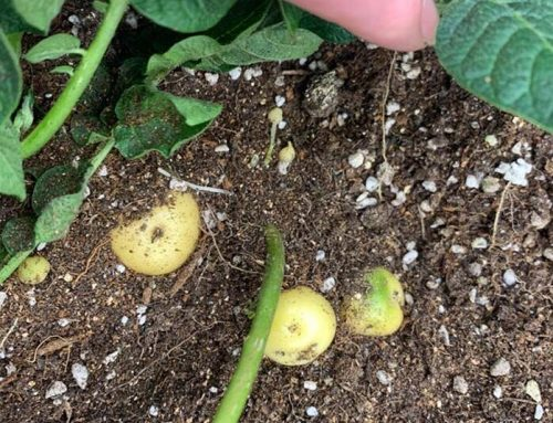 The growth of Marco's small potatoes-my story of indoor planting of potatoes