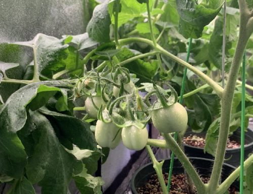 I grow tomatoes at home 2, flowering and fruiting – Indoor planting does not require sunlight