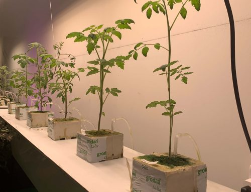 Simple Hydroponic Tomato Planting Test May 7