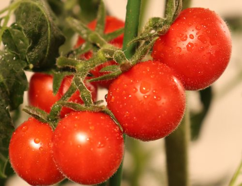 Harvesting tomatoes and peppers-real-time report from indoor growers-May 6th
