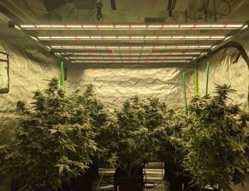 Full Cycle Cannabis Grow with Koray G120E 630W Foldable LED Grow Light